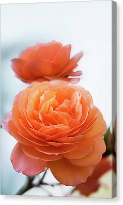 Rosa 'louise Clements' Flowers Canvas Print by Maria Mosolova
