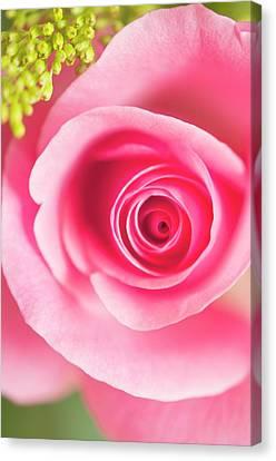 Rosa Sp. Flower Canvas Print by Maria Mosolova