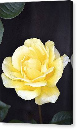Rose 196 Canvas Print by Pamela Cooper