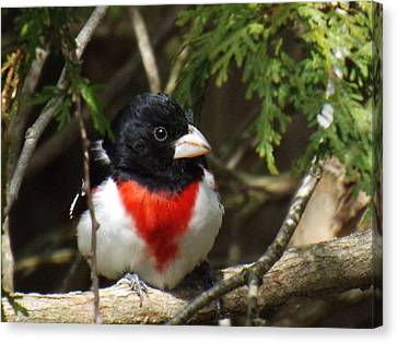 Rose Breasted Grosbeak Perched Canvas Print by Brenda Brown