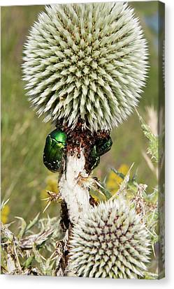 Rose Chafers And Ants On Thistle Flowers Canvas Print by Bob Gibbons