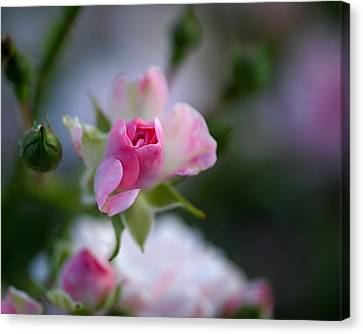 Rose Emergent Canvas Print by Rona Black
