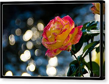 Rose In Dappled Afternoon Light Canvas Print by Mick Anderson