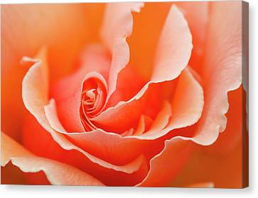 Rose 'just Joey' Creative Abstract Canvas Print by Nigel Downer