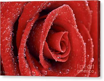Rose Red  Canvas Print by Tracy  Hall