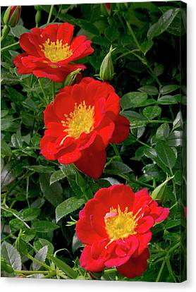 Rose (rosa 'star Appeal') Flower Canvas Print by Ian Gowland