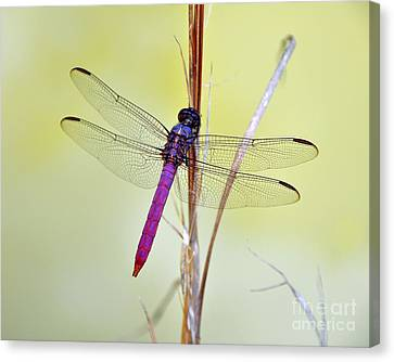 Roseate Skimmer Dragonfly Canvas Print by Al Powell Photography USA