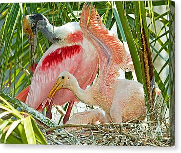 Roseate Spoonbill Adult And Nestlings Canvas Print by Millard H. Sharp