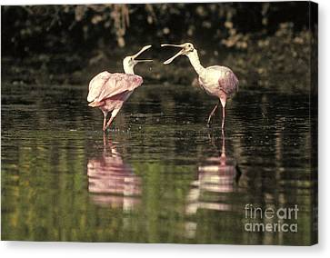Roseate Spoonbill Canvas Print by Ron Sanford