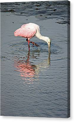 Roseate Spoonbill Canvas Print by Suzanne Gaff