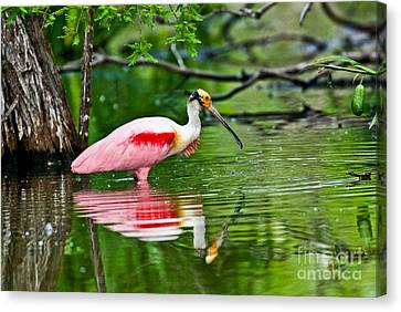 Roseate Spoonbill Wading Canvas Print by Anthony Mercieca