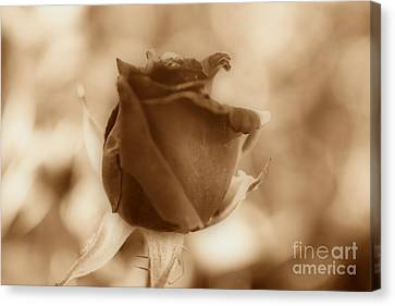 Rosebud Sepia Tone Canvas Print by Cheryl Young