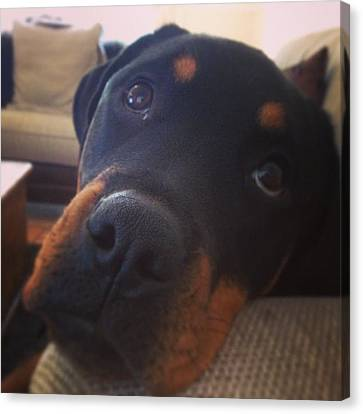 #rottweiler #dog #sofa #cute Canvas Print by Louise Jose