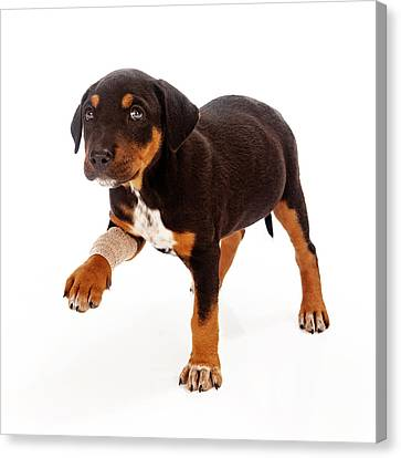 Rottweiler Puppy Injured Paw Canvas Print by Susan  Schmitz