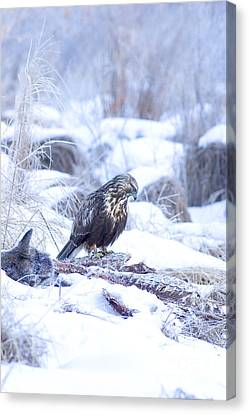 Rough Legged Hawk On Deer Carcass Canvas Print by Gregory K Scott