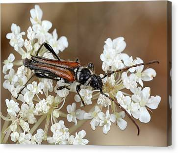 Round-necked-longhorn Beetle Canvas Print by Nigel Downer