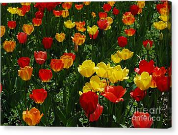 Rows Of Tulips Canvas Print by Kathleen Struckle