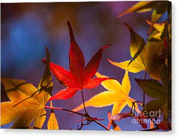 Royal Autumn B Canvas Print by Jennifer Apffel