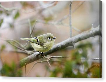 Ruby-crowned Kinglet Canvas Print by Christina Rollo