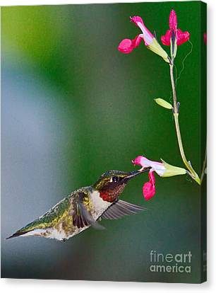 Ruby Red Hummingbird And Flowers Canvas Print by Wayne Nielsen