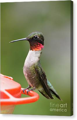 Ruby-throated Hummingbird Male 11702-1 Canvas Print by Robert E Alter Reflections of Infinity