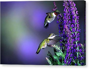 Ruby-throated Hummingbirds (archilochus Canvas Print by Richard and Susan Day