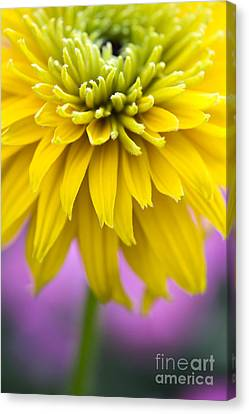 Rudbeckia Cherokee Sunset Flower Canvas Print by Tim Gainey