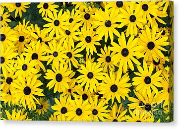 Rudbeckia Fulgida 'pot Of Gold'  Canvas Print by Tim Gainey