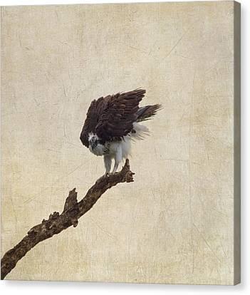 Ruffled Up Osprey Canvas Print by Kim Hojnacki