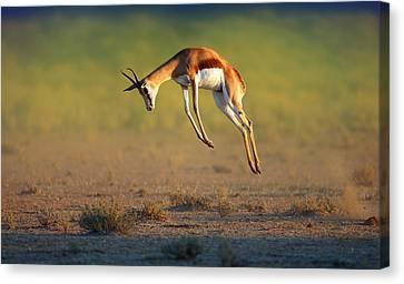 Running Springbok Jumping High Canvas Print by Johan Swanepoel