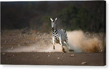 Running Zebra Canvas Print by Johan Swanepoel