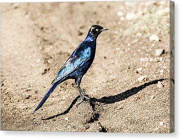 Ruppell's Glossy-starling Canvas Print by Photostock-israel