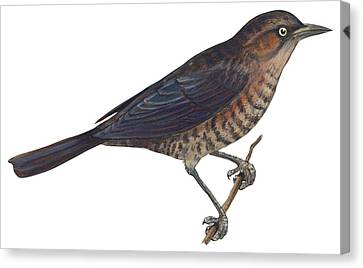 Rusty Blackbird  Canvas Print by Anonymous