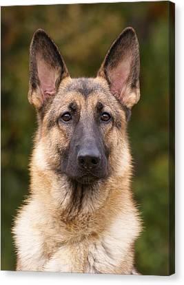 Sable German Shepherd Dog Canvas Print by Sandy Keeton