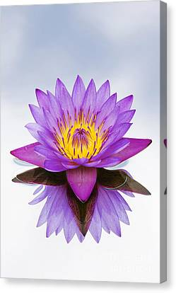 Sacred Indian Blue Lotus Flower Canvas Print by Tim Gainey