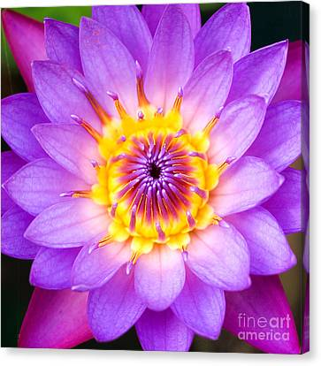 Sacred Indian Blue Lotus Canvas Print by Tim Gainey