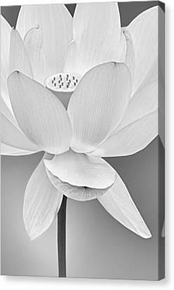 Sacred Lotus Blossom Bw Canvas Print by Susan Candelario