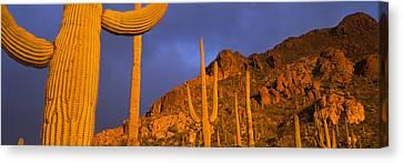 Saguaro Cactus, Tucson, Arizona, Usa Canvas Print by Panoramic Images