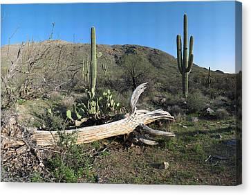 Saguaro Skeleton Saguaro National Park Az  Canvas Print by Brian Lockett