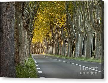 Saint Remy Trees Canvas Print by Brian Jannsen