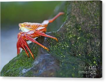 Sally Lightfoot Crab On Rock Canvas Print by Sami Sarkis