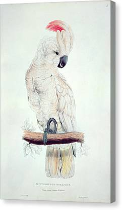 Salmon Crested Cockatoo Canvas Print by Edward Lear