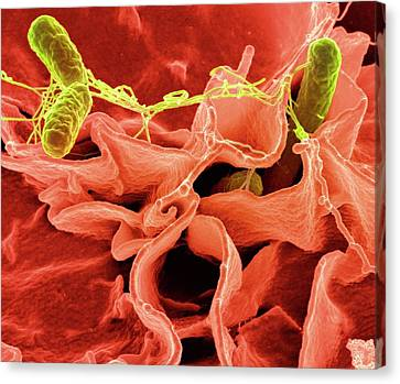 Salmonella Typhimurium Bacteria Canvas Print by Ami Images