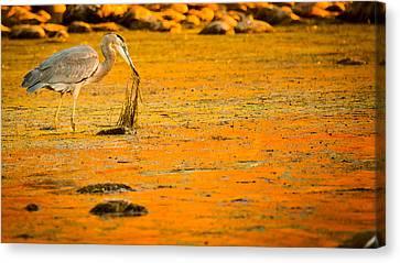 Salt River Heron Canvas Print by Kelly Gibson