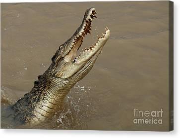 Salt Water Crocodile Australia Canvas Print by Bob Christopher