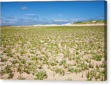 Samphire Growing On The Beach Canvas Print by Ashley Cooper