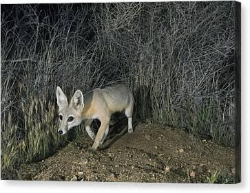 San Joaquin Kit Fox At Night Carrizo Canvas Print by Kevin Schafer