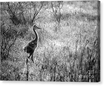 Sandhill Chick In The Marsh - Black And White Canvas Print by Carol Groenen