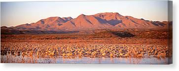 Sandhill Crane, Bosque Del Apache, New Canvas Print by Panoramic Images