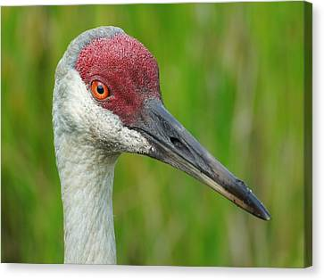 Sandhill Crane Female Close Up Canvas Print by Lynda Dawson-Youngclaus